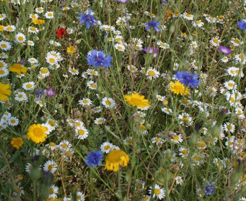 wildflowers_0